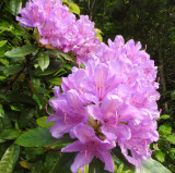 Wild Rhododendron.