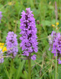SouthernMarsh Orchid  (Dactylorhiza ptaetermissa).