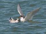 Juvenile Forster's Tern being fed