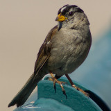 Nuttall's White-Crowned Sparrow