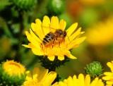 Honeybee on Gumplant