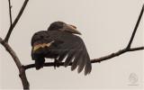 Hornbill, Luzon (Penelopides manillae) (female)