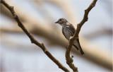 Grey-Streaked Flycatcher  (Muscicapa griseisticta)
