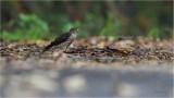 Goshawk, Chinese (Accipiter soloensis)