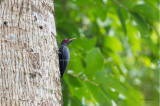 Northern Sooty Woodpecker (male) (Mulleripicus funebris)