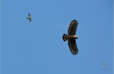 Philippine Serpent-Eagle ( Spilornis holospilus)