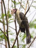 Luzon Hornbill (Penelopides manillae) (male)