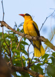 Black Naped Oriole (Oriolus chinensis)
