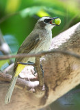 Yellow Vented Bul-Bul