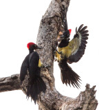 White-bellied Woodpecker (males) (Dryocopus javensis)
