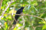 Blackish Cuckoo-shrike (Coracina coerulescens)
