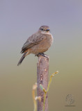 Pied Bushchat (female) (Saxicola caprata)