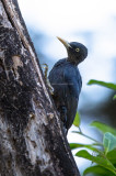 Northern Sooty Woodpecker (female) (Mulleripicus funebris)