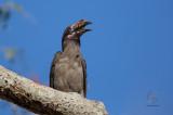 Luzon Hornbill (Female) (Penelopides manillae)