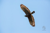 Philippine Serpent-Eagle ( Silornis holospilus)