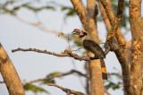 Luzon Hornbill (male) (Penelopides manillae)