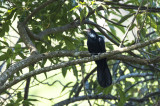 Common Koel (male)(Eudynamys scolopacea)