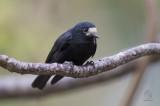 White-fronted Tit (Parus semilarvatus)