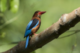 Brown-breasted Kingfisher  (Halcyon gularis)