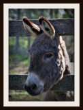 Mr. Shaggy Donkey