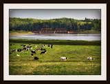 The Cow Parade