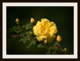 The First Yellow Rose