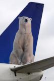 Polar Bear on the tail of First Air