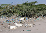 Goats and plastic coated thorn bushes, Hargeisa