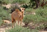 Roadside Camel, Somaliland