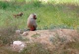 Hamadryas Baboon (Papio hamadryas) on the lookout