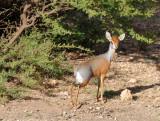 Salt's dik-dik (Madoqua saltiana), Somaliland