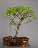 Ulmus parvifolia  #027