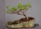 Ulmus parvifolia #058