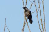 Hybrid Hooded Crow x Carrion Crow