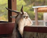 IMG_1129a 8x10 a goat.jpg
