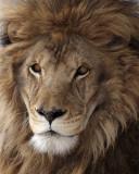 IMG_2818a 8x10 mr lion.jpg