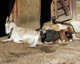 _MG_0462a 8x10 goats.jpg