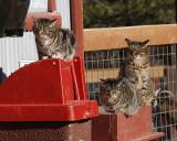 _MG_1592a 8x10barn cats.jpg