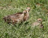 _MG_3185a peafowl chicks.jpg
