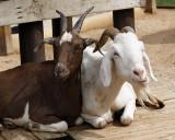 _MG_3171a 8x10 goats.jpg