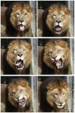 fur yawn.jpg