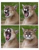 dakota yawn.jpg