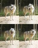 bella yawn8x10.jpg