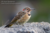 Northern  Flicker (juvenile male)