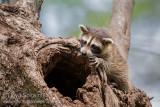 Raccoon (kit)