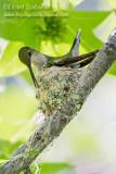Ruby-throated Hummingbird (female)