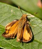 Zabulon Skipper (male)