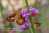 Broad-winged Skipper (female)