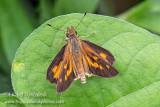 Broad-winged Skipper (male)