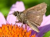 Northern Broken-Dash  (female)